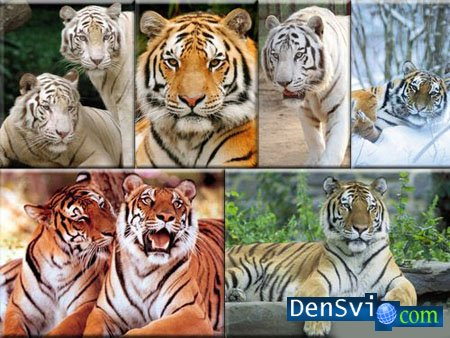 Raster Clipart - Tigers